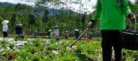 Working in the vegetables field