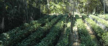 Coffee seedlings under plastic at the Ijen Plateau