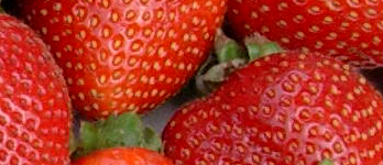 Strawberries at the Ijen Plateau in East Java
